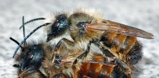 Пчёлы Осмии (Mason bee)
