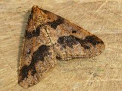 Бабочка пяденицы-обдирало, или листопадной пяденицы (Erannis defoliaria)
