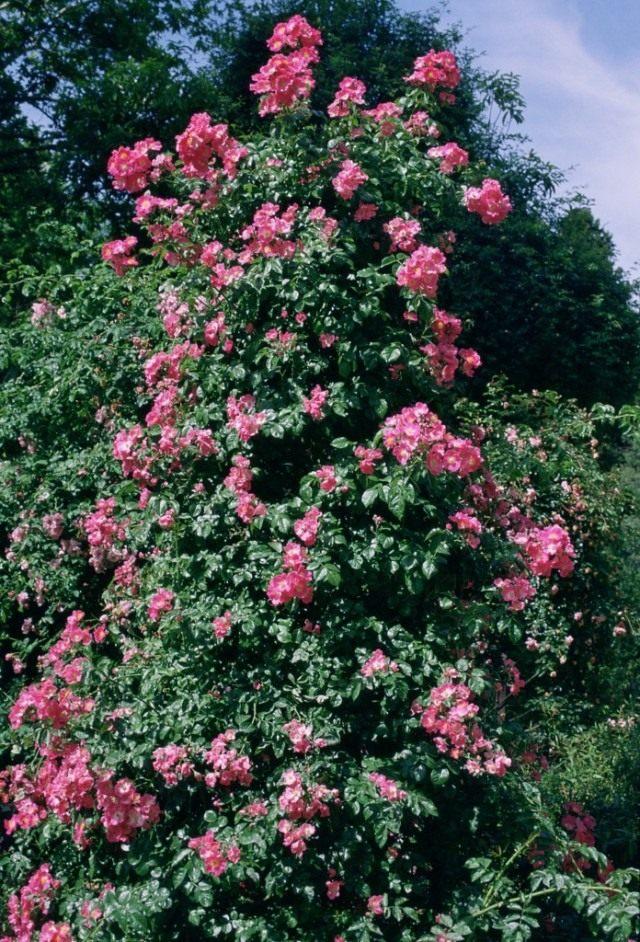 Роза мускусная