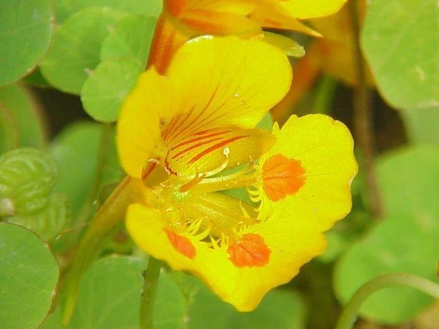 Настурция, или Капуцин (Tropaeolum)