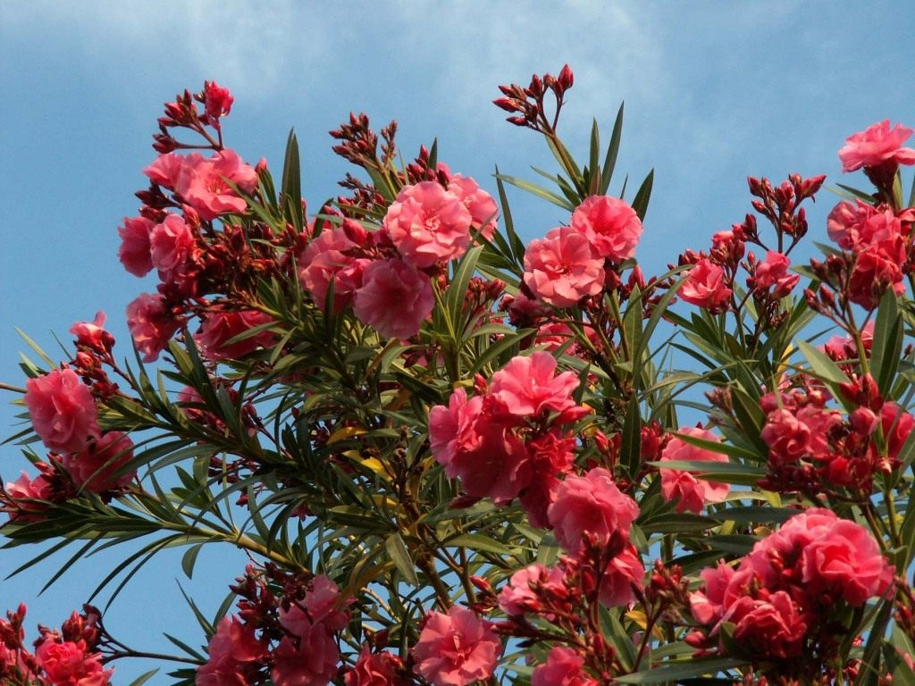 Ядовитый олеандр цветок