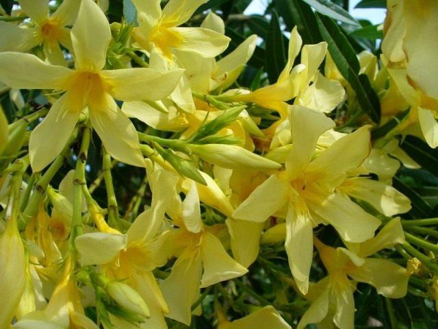 Желтые цветы Олеандра, сорт 'Maria Gambetta'