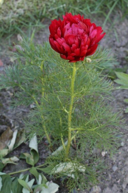 цветы воронок фото