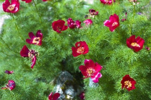 Пион узколистный (Paeonia tenuifolia)