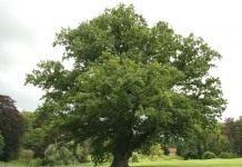 Перуново дерево