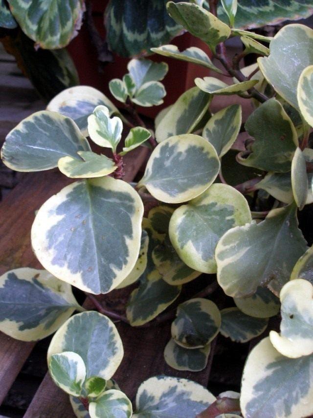 Пеперомия туполистная (Peperomia obtusifolia 'variegata')