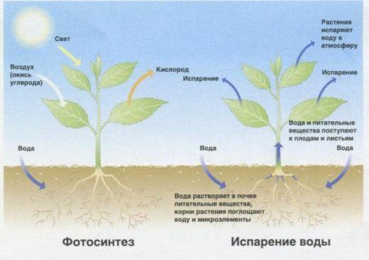 последовательность восходящего пути воды в растении ДТП, которые
