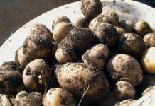 Картофель и рожь: чередование культур