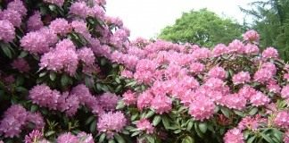 Рододендрон (Rhododendron)