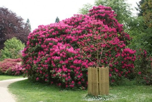 Ru - Rododendro arbol ...