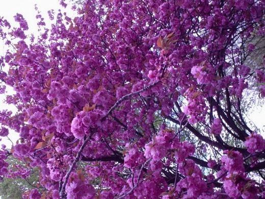 Сакура, Вишня мелкопильчатая (Sakura)
