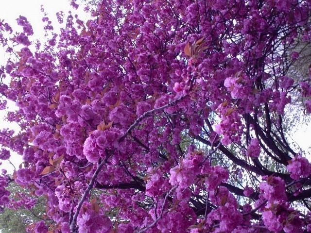 Сакура, или Вишня мелкопильчатая (Prunus serrulata)