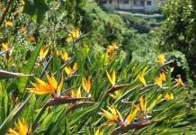 Цветы жар-птицы