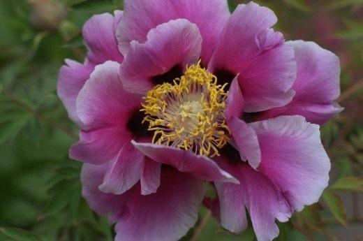 Цветок пиона древовидного