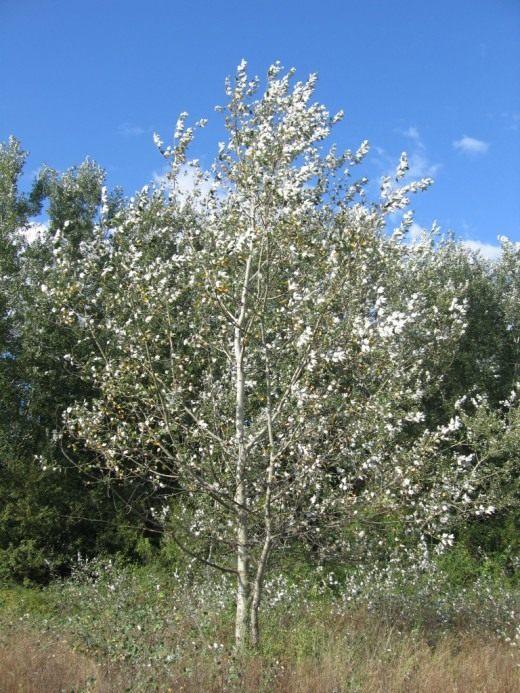 Тополь белый или тополь серебристый