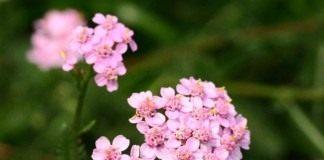 Тысячелистник обыкновенный, садовый сорт