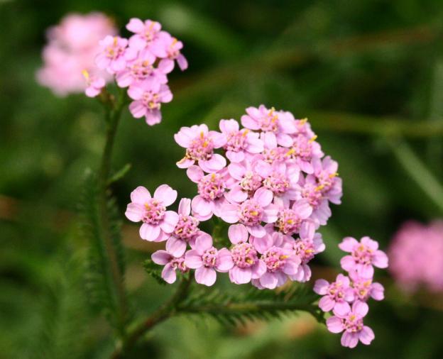 Тысячелистник обыкновенный (Achillea vulgaris), садовый сорт