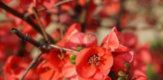 Хеномелес японская, или Айва японская низкая (Chaenomeles japonica)