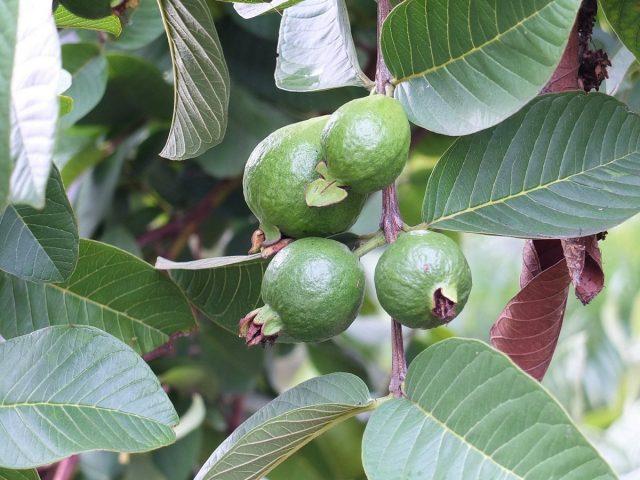 Гуава (Psidium guajava)