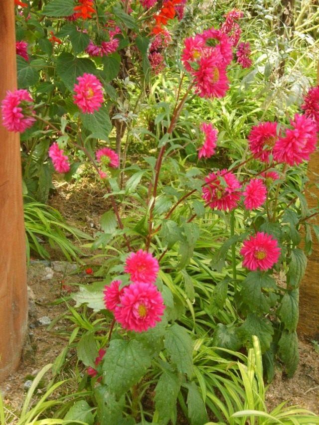 Астра садовая (Aster)