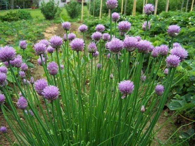 Лук скорода, или шнитт-лук (Allium schoenoprasum)