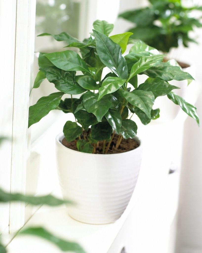 Комнатный цветок кофе фото