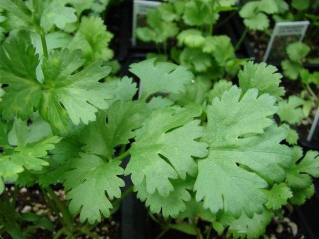 Кориандр, или кинза (Coriandrum sativum)
