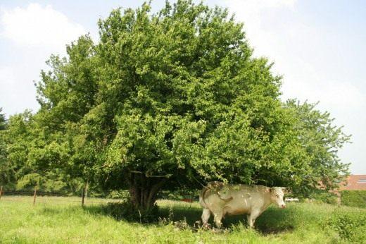 фото кизил дерево