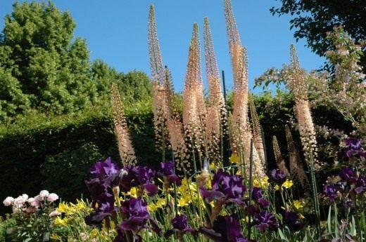 Эремурусы в саду