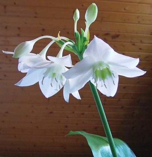 Луковичные домашние цветы фото