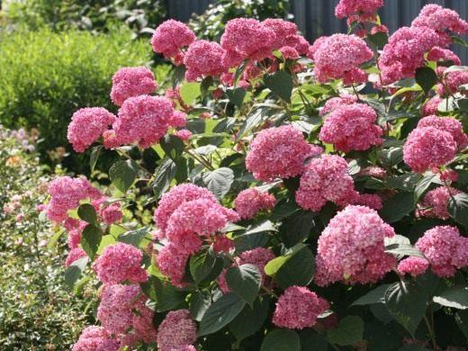 Гортензия древовидная, сорт 'Pink Anabelle'