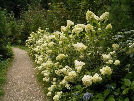Гортензия древовидная - растение с большими цветами в форме шара бело-кремового цвета.