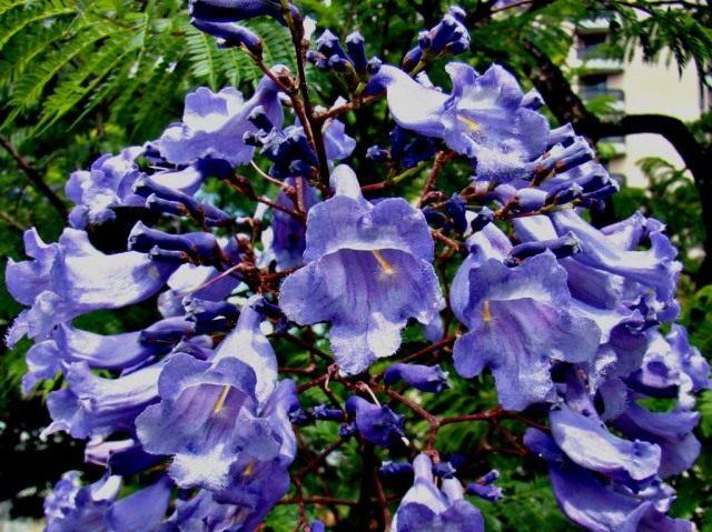 Цветки Жакаранды