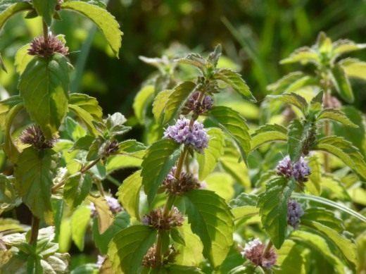 Мята полевая или мята луговая (Mentha arvensis)