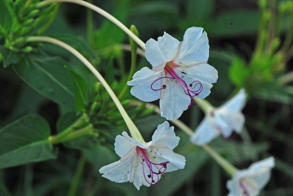 Огонёк цветок википедия