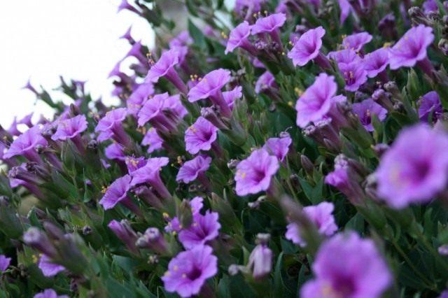 Мирабилис многоцветковый (Mirabilis multiflora)