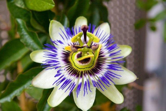 Страстоцвет голубой, или Пассифлора голубая