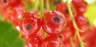 Смородина (Ribes)