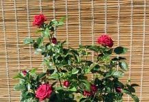 Чтобы роза цвела