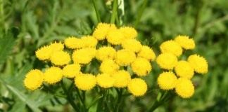 Пижма обыкновенная (Common Tansy, Bitter Buttons, Cow Bitter, Mugwort, or Golden Buttons)