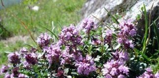 Тимьян ползучий, или Чабрец ползучий, или Чабрец обыкновенный (лат. Thymus serpyllum)