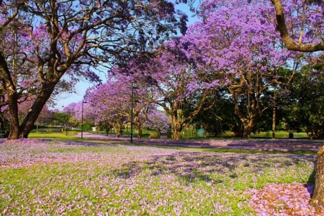 Цветущие деревья Жакаранды на территории Квинслендского университета, Австралия