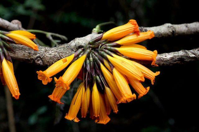 Радермахера огненная (Radermachera ignea)