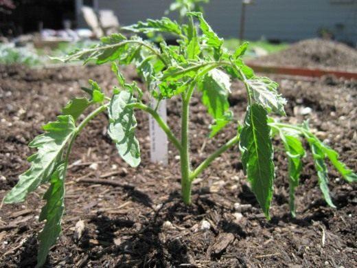 Высаживают томаты в первой и второй декадах мая