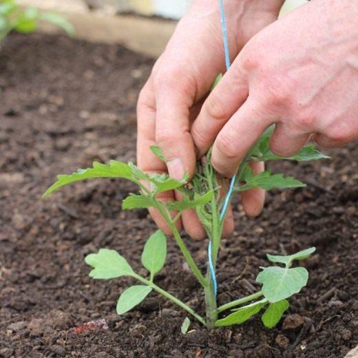 При необходимости рассаду можно подвязать