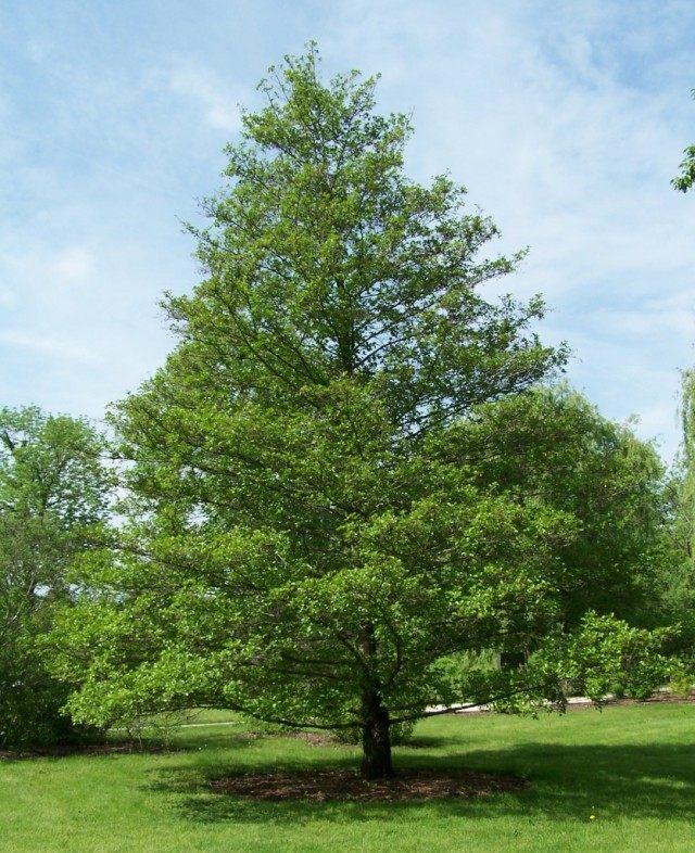 Ольха чёрная, или Ольха клейкая, или Ольха европейская (Alnus glutinosa)