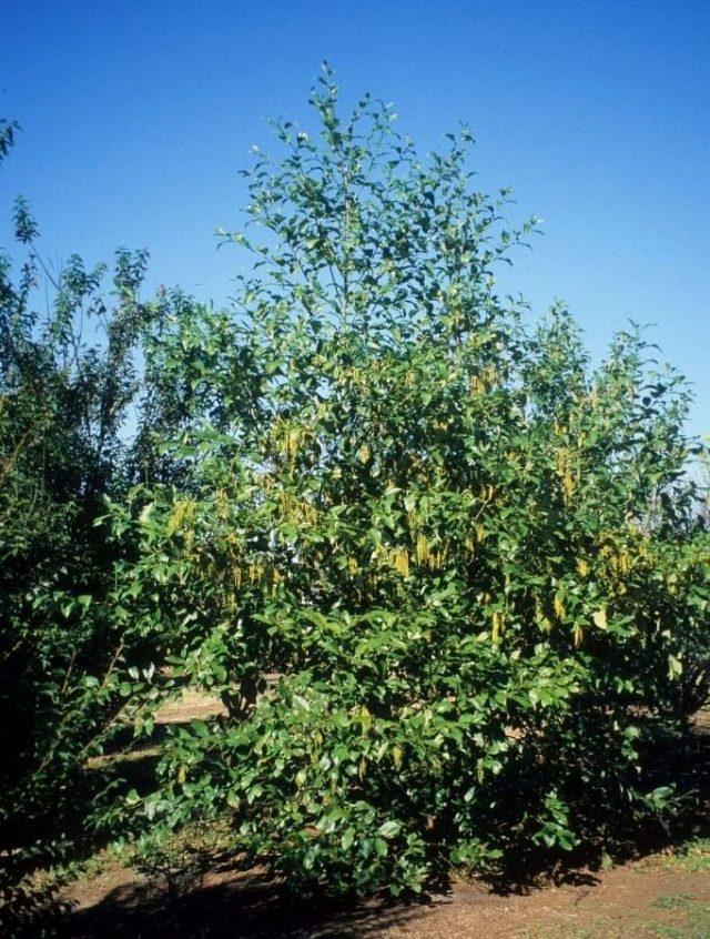 Ольха непальская (Alnus nepalensis)
