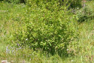 Ольха зелёная, или Ольха горная (Alnus viridis)