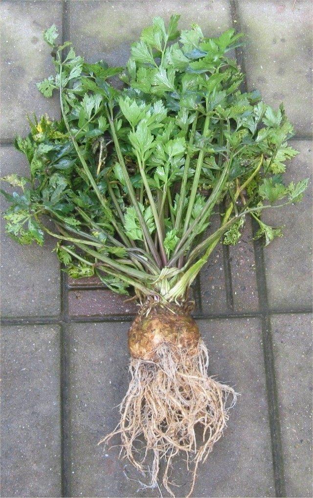 Сельдерей (Apium graveolens)