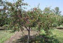 Стоят сады вишнёвые